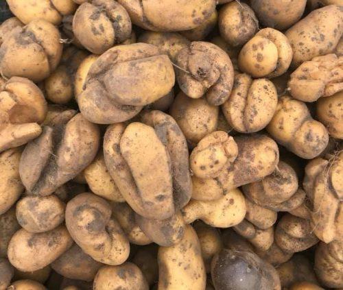 herkennen groeischeuren aardappel