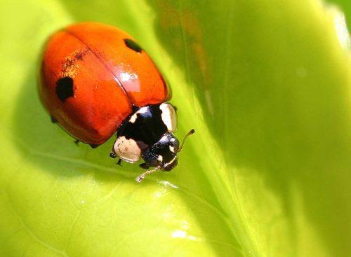 Tweestippilig lieveheersbeestje eet bladluizen