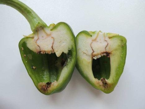 Herkennen van schade aan paprika