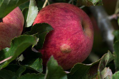 herkennen wrachtige verhogingen op apple