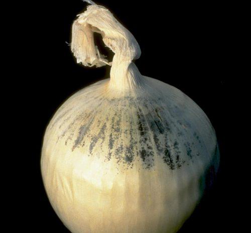 herkennen van aspergillus niger op ui