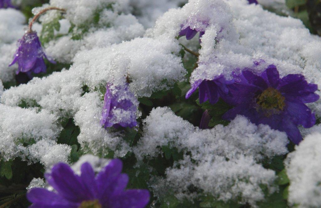 Bloemen overleven onder sneeuw