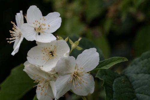 herkennen bloemen boerenjasmijn