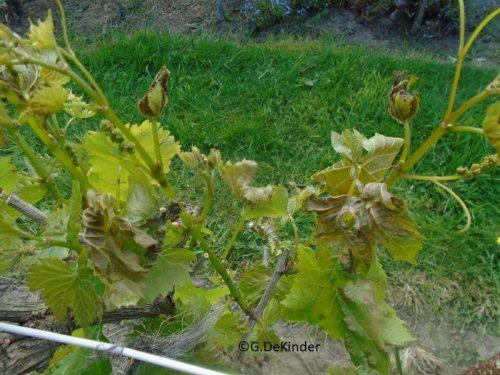 herkennen vorstschade druif