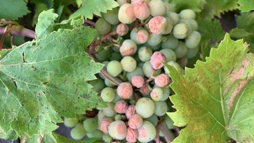 herkennen van zonnebrand bij druiven