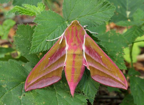 Herkennen vlinder Groot Avondrood