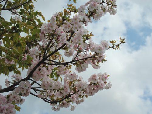 herkennen Prunus