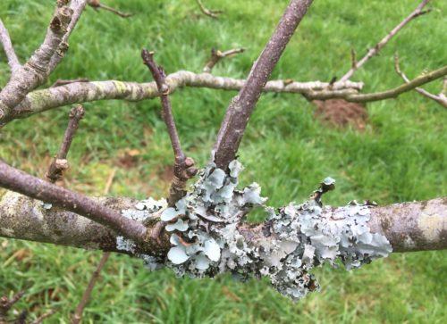 Herkennen korstmos op appelboom