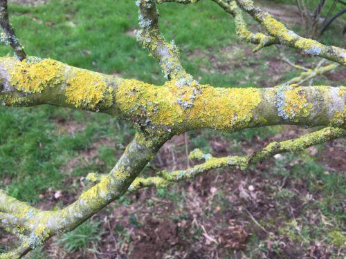 herkennen korstmos notenboom