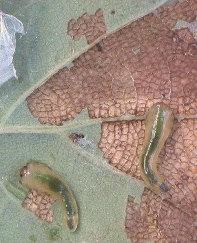Bastaardrups, larve van de lindebladwesp eet bladmoes van blad