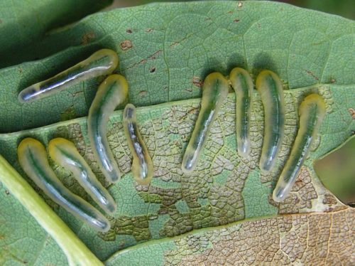 Rups van de lindebladwesp vreet blad van linde, eik, beuk, berk, wilg en bosbes