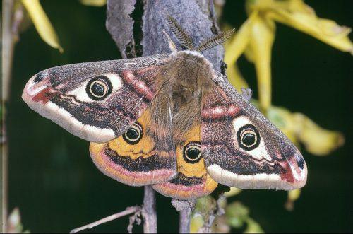 Vlinder met oog