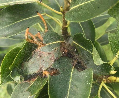 herkennen rupsen op perenboom