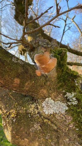 herkennen zwammen op pruimenboom