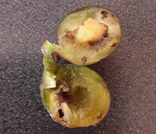Herkennen schade aan pruimen