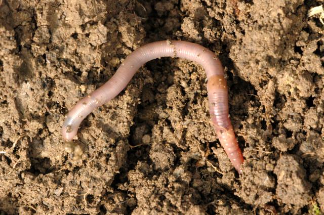 herkennen regenworm