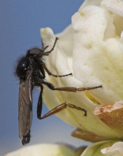 Herkennen rouwvliegen