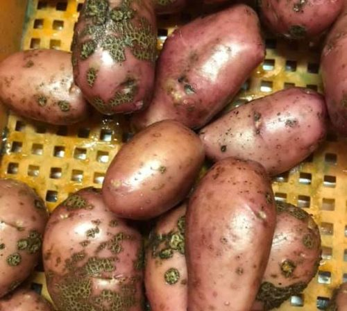 Plekjes op aardappel, schurft