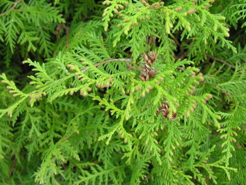 herkennen van coniferen