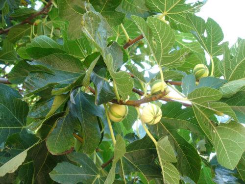 Herkennen vijgenboom