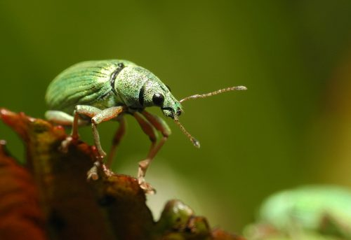 herkennen van bladsnuitkevers