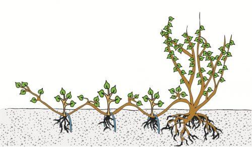 vermeerderen van planten, vegetatieve vermeerdering