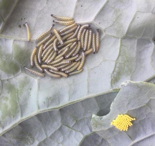 Rupsen en eitjes groot koolwitje op bloemkool