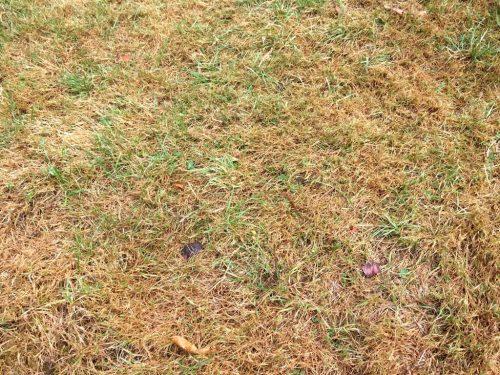 herkennen verdroogd gras, gazon
