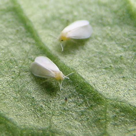 herkennen bladluis