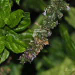 Herkennen rups muntvlindertje