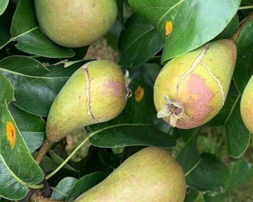 herkennen oorzaak schade peren