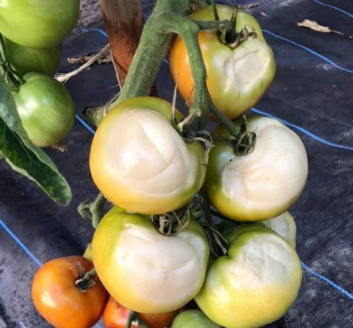 herkennen zonschade aan tomaten