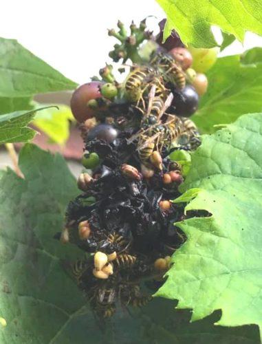Wespen op druif