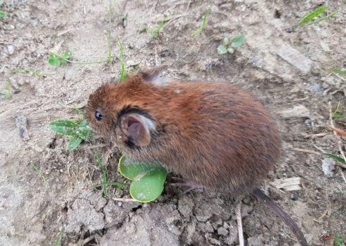 Woelmuizen kunnen schade veroorzaken aan wortels van heesters en bomen