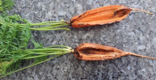 herkennen van groeischade wortels